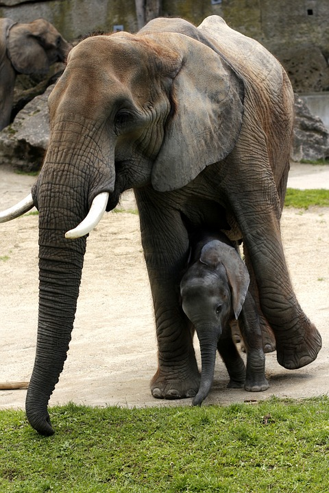 african-bush-elephant-350914_960_720.jpg