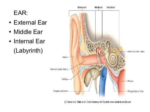 anatomy-embryology-ext-ear-middle-ear-2-638.jpg