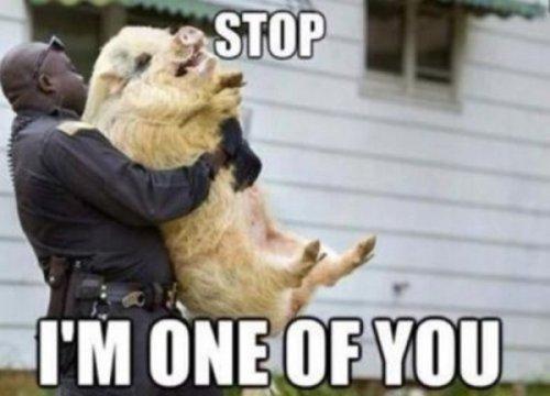 pig-on-pig-crime-600x432.jpg