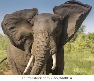 african-elephant-bull-260nw-657660814.jpg