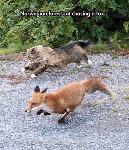Norwegian Cat Chasing a Fox.jpg