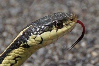 hissing-garter-snake-gwyneth-cheeseman.jpg