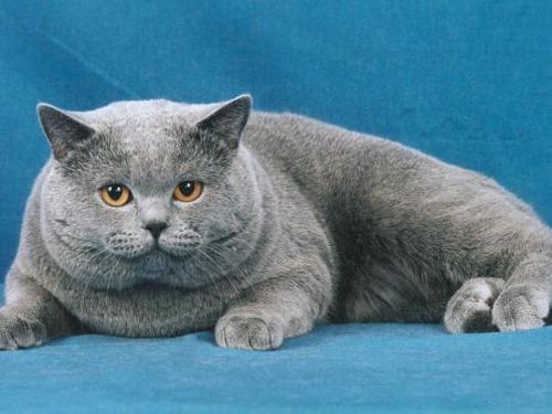 grey-cat-1.jpg