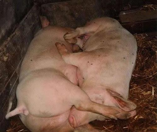 a.aaa-and-69-pigs-love.jpg