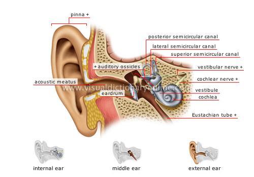 structure-ear.jpg