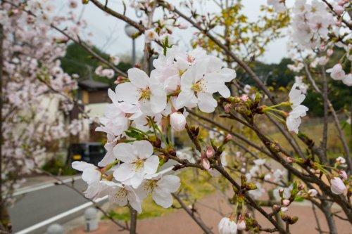 Hanami-D75_6545_.jpg