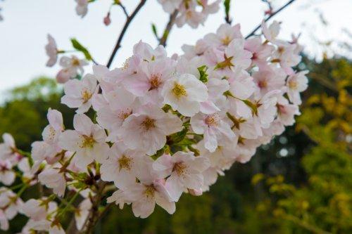 Hanami-D75_6525_.jpg