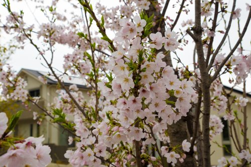 Hanami-D75_6521_.jpg