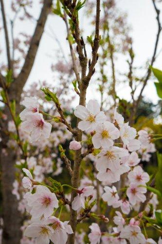 Hanami-D75_6519_.jpg