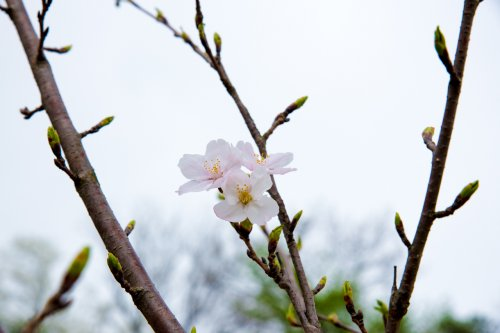 Hanami-D75_6495_.jpg