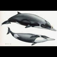 FlyingDolphin