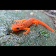 the Red Eft