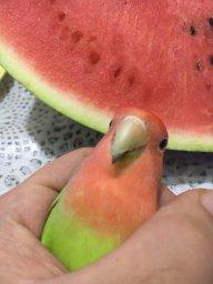 Watermelon Boi