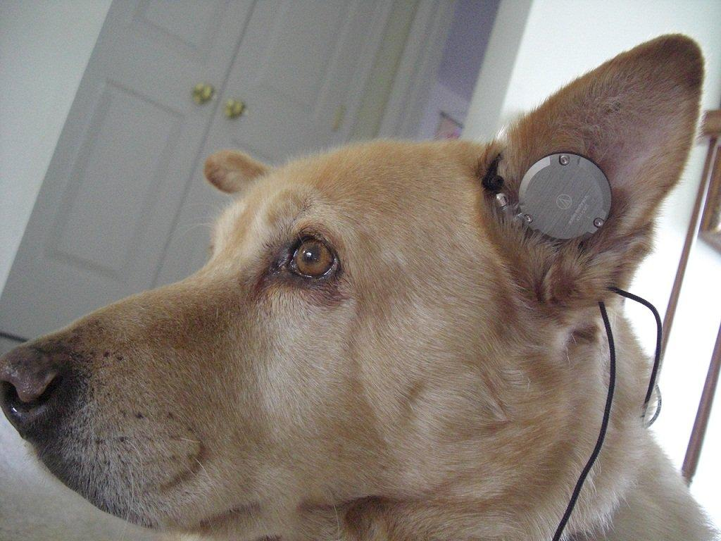 Mah doggy wearing the Audio Technica EM7GM. What a perfect fit!