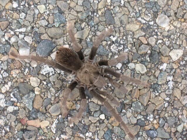 Male tarantula - picture taken in Paso Robles, CA