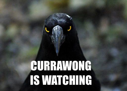 Currawong is watching.jpeg