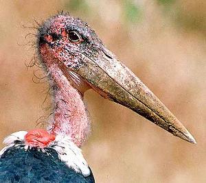 worlds-ugliest-bird.jpg