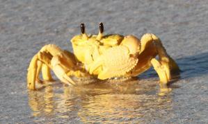 WestAus-YellowCrab-4910_01 1st crop.jpg