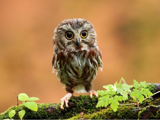 Owlet2.jpg