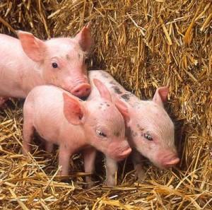 swine-flu-300x297.jpg