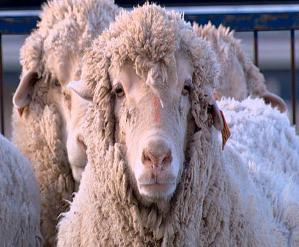 sheep240307_486x386.jpg