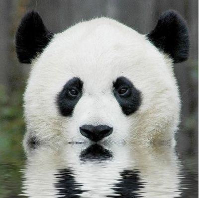 soon panda.png