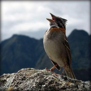 sparrow-singing-on-mountain.jpg