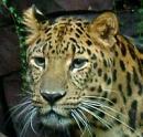 Leopard Avatar.jpg