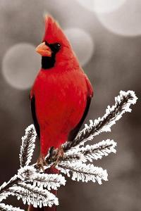Cardinal male.jpg