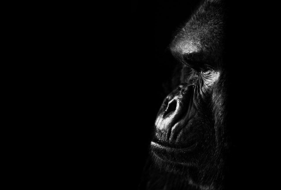 gorillas-look.jpg