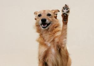 dog-paw-injuries-dog-doing-high-five.jpg