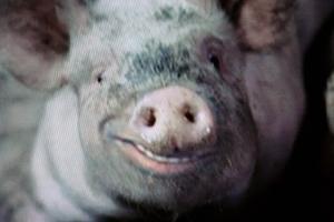 smiling-pig.jpg