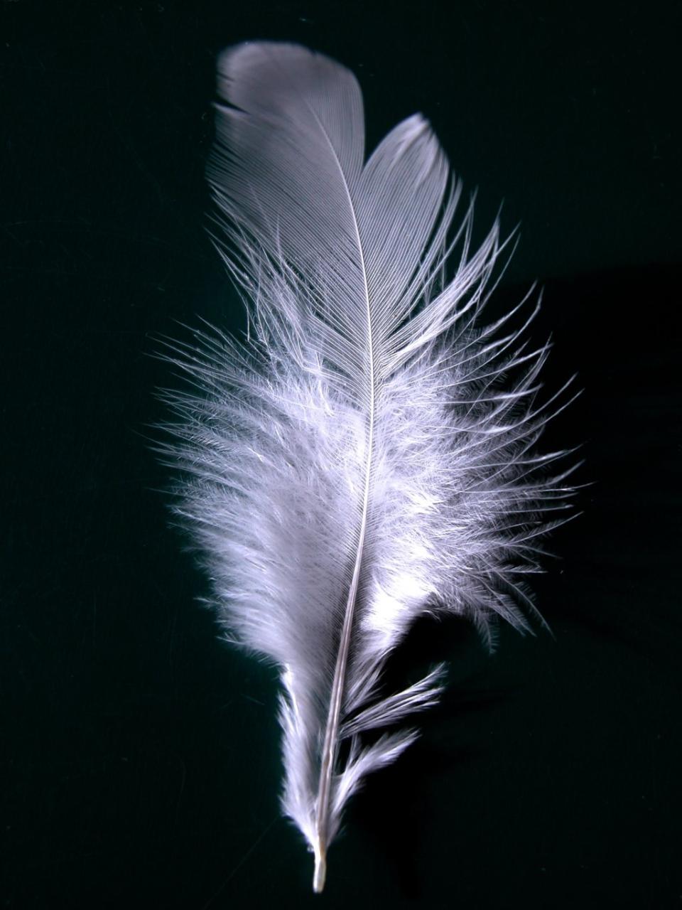 A_single_white_feather_closeup.jpg