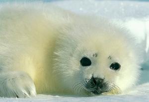 harp-seal-baby%202.jpg