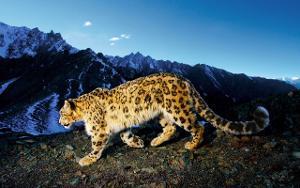 Snow_leopard_prowl.1280x800.jpg