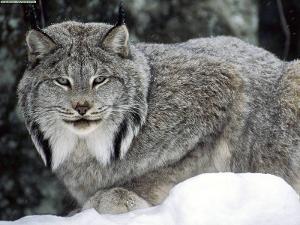 canadian-lynx.jpg