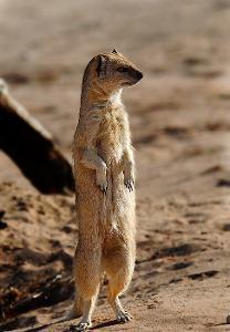 mongoose-preparing-for-cricket.jpg