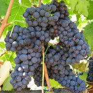 grapefarmer