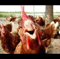 the_Samurai_chicken